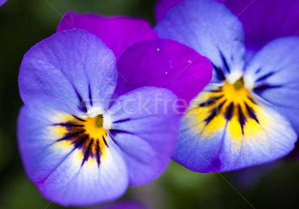 два красивой цветы выстрел Purple Сток-фото © jaykayl