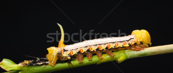 Beautiful hawks moth caterpillar Stock photo © jaykayl