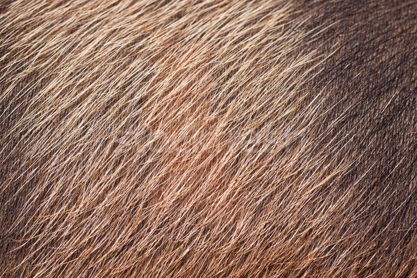 クローズアップ 豚 皮膚 髪 毛皮 ストックフォト © jaykayl