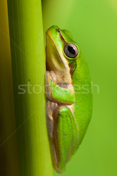 Close-up of Dwarf tree frog Stock photo © jaykayl
