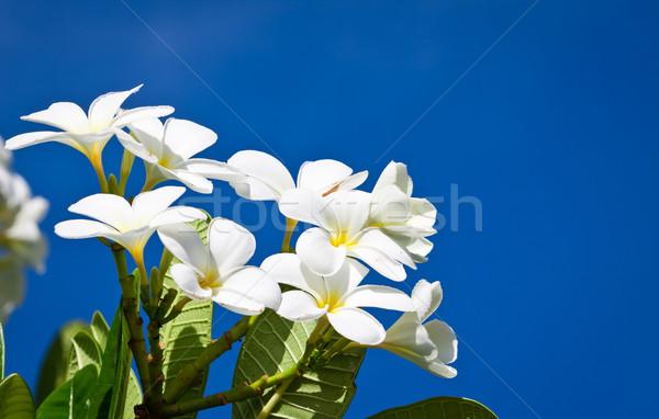 Biały kwiaty oddziału piękna Błękitne niebo niebo Zdjęcia stock © jaykayl