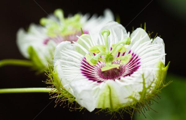 Bella passione frutta fiori primo piano shot Foto d'archivio © jaykayl