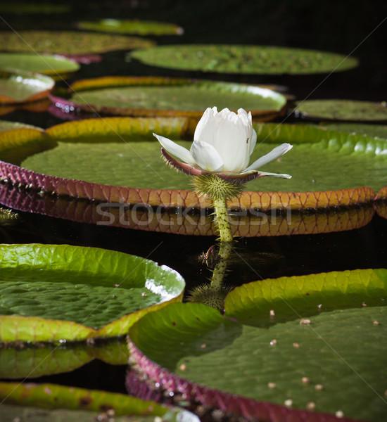 Primo piano gigante acqua giglio fiore natura Foto d'archivio © jaykayl