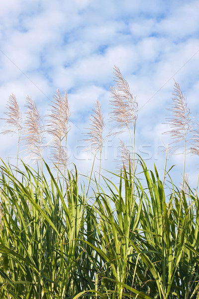 Sugar cane in bloom  Stock photo © jaykayl