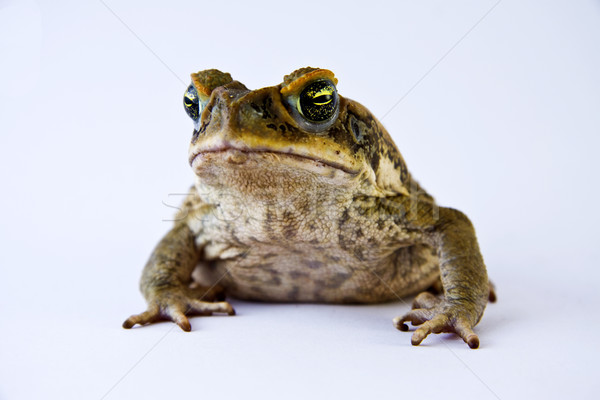 Cane toad (Bufos marinus) Stock photo © jaykayl