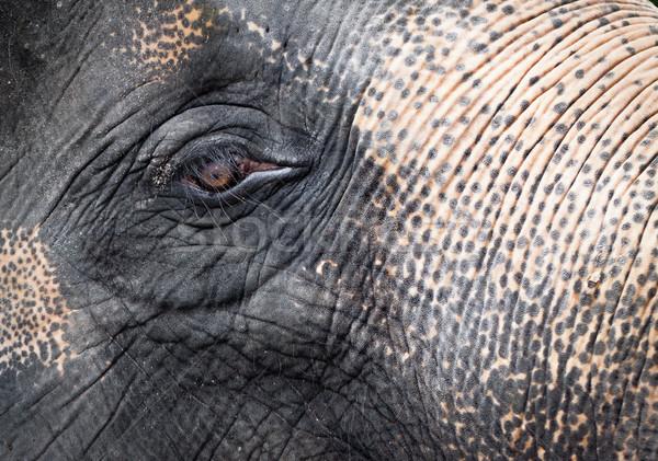Olifant portret asian gezicht natuur Stockfoto © jaykayl