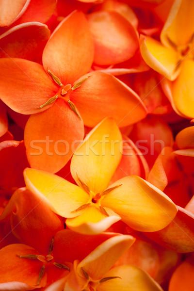 マクロ 美しい 活気のある 花 ショット カラフル ストックフォト © jaykayl