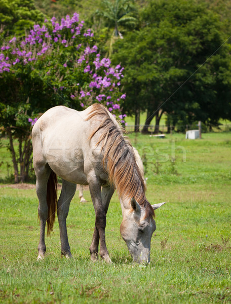 красивой лошади трава white horse зеленый Сток-фото © jaykayl