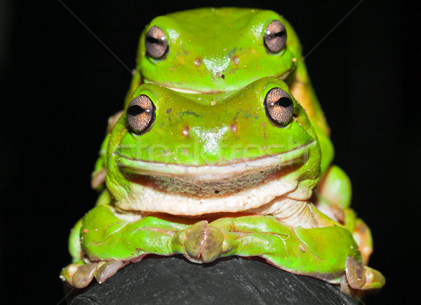 Green tree frogs mating Stock photo © jaykayl