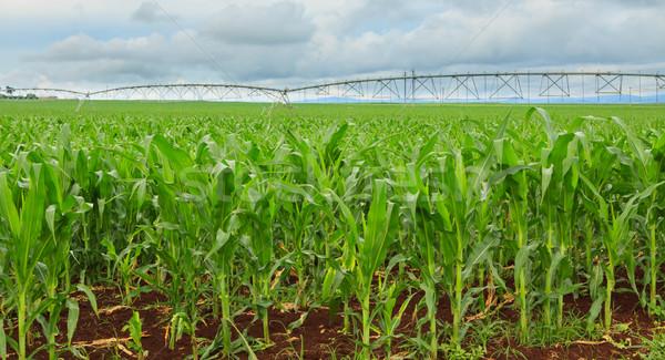 Csemegekukorica termény Ausztrália Queensland öntözés levél Stock fotó © jaykayl