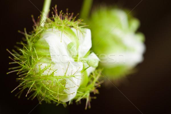 Paixão fruto flor fechado primavera Foto stock © jaykayl