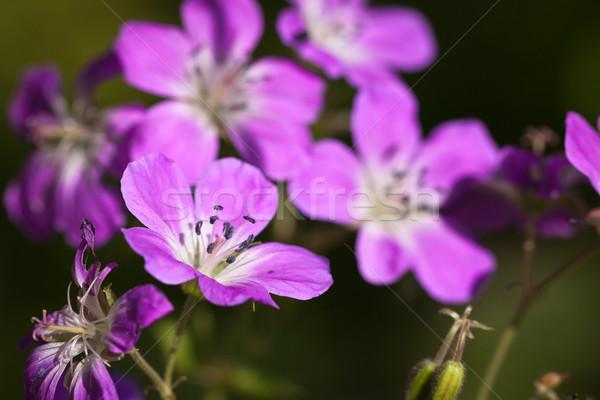美しい 紫色 木材 花 クローズアップ 庭園 ストックフォト © jaykayl