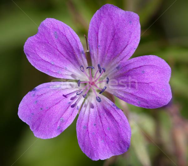 Wood Cranesbill or Woodland Geranium flower Stock photo © jaykayl