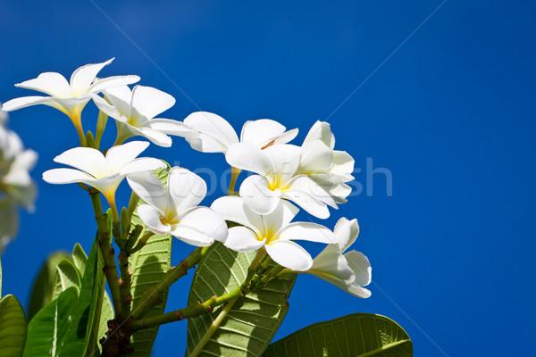 White Frangipani flowers Stock photo © jaykayl