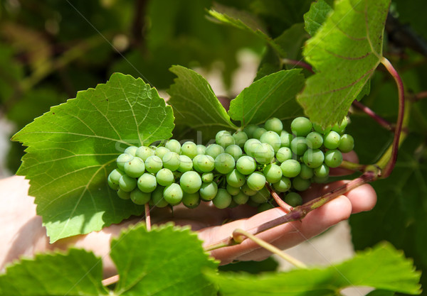 Wine Grapes Stock photo © jeayesy