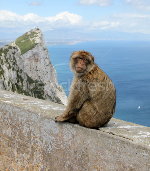 Ape of Gibraltar Stock photo © jeayesy