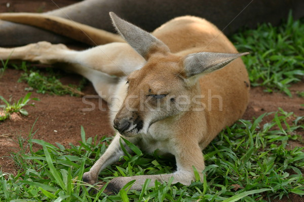 Kangaroo Stock photo © jeayesy