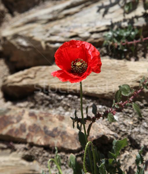 Red poppy Stock photo © jeayesy