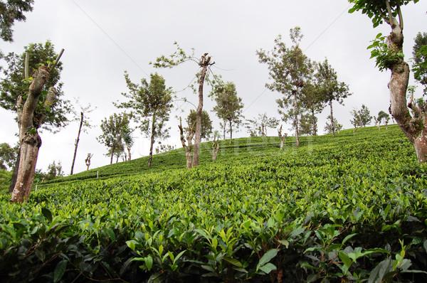 пути Шри Ланка области чай сельского хозяйства Сток-фото © jelen80