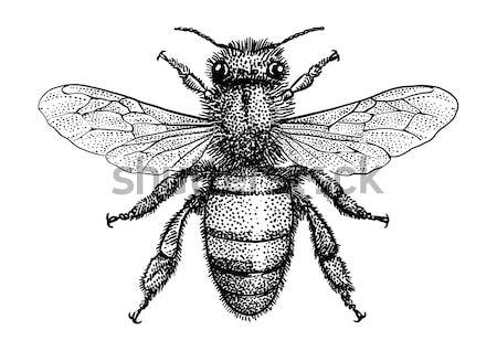 Bee illustration, engraving, drawing, ink, vector Stock photo © JenesesImre