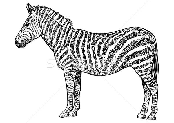 Zebra ilustração desenho nosso linha Foto stock © JenesesImre