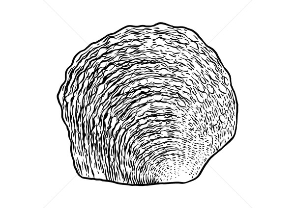 Parel oester shell illustratie tekening Stockfoto © JenesesImre