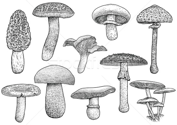 Group of mushroom illustration, drawing, engraving, vector, line Stock photo © JenesesImre