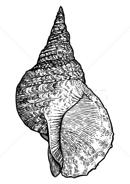 Triton's trumpet, shell illustration, drawing, engraving, ink, realistic, vector Stock photo © JenesesImre