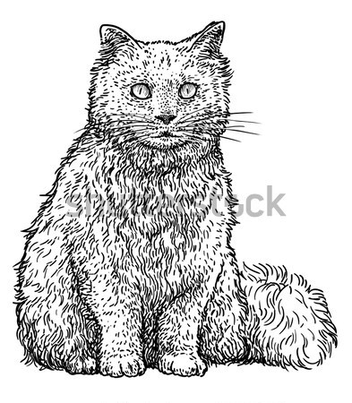 Maine coon cat illustration, drawing, engraving, line art, vector Stock photo © JenesesImre