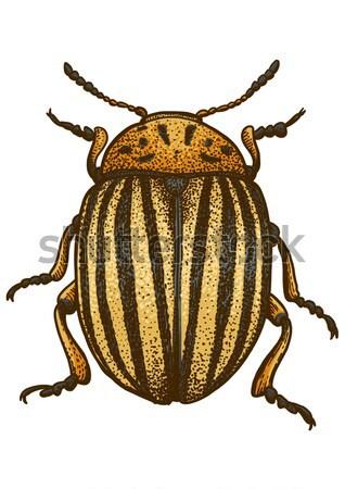 Colorado beetle illustration, engraving, drawing, ink, vector Stock photo © JenesesImre