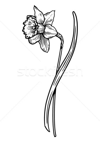 スイセン 花 実例 図面 彫刻 行 ストックフォト © JenesesImre
