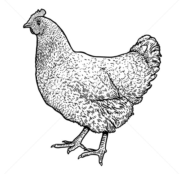 Line Drawing Chicken : Chicken illustration drawing engraving ink line art
