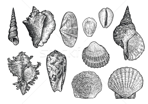 Seashell collection, engraving, illustration, drawing collection, vector Stock photo © JenesesImre
