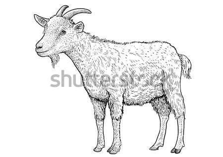 Pig illustration, drawing, engraving, line art, realistic, vector Stock photo © JenesesImre