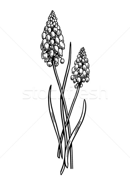 Raisins jacinthe fleur illustration dessin gravure Photo stock © JenesesImre