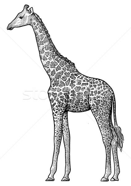 Giraffe illustratie tekening inkt lijn Stockfoto © JenesesImre