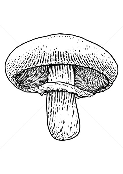 Champignon mushroom  illustration, drawing, engraving, vector, line Stock photo © JenesesImre