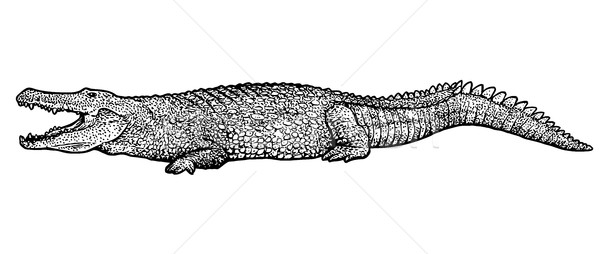 Crocodile illustration, drawing, engraving, ink, line art, vector Stock photo © JenesesImre