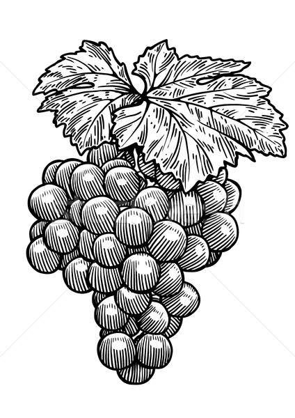 Grape illustration, drawing, engraving, ink, line art, vector Stock photo © JenesesImre