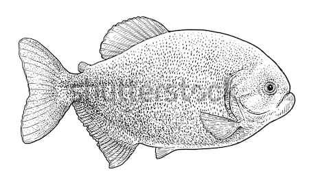 Catfish fish illustration, drawing, engraving, line art, realistic Stock photo © JenesesImre