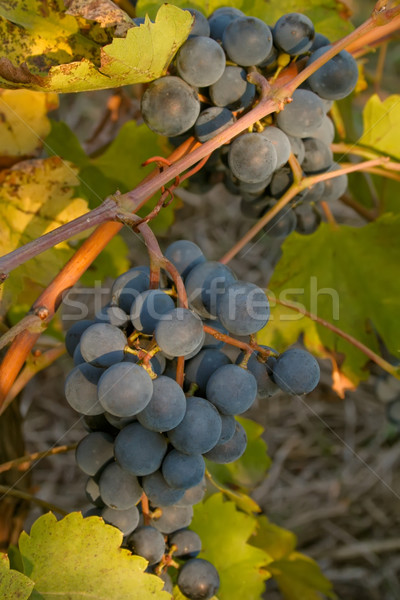 Bunch of black ripe wine grapes on the vine Stock photo © jet
