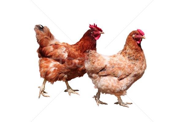 Brown hens, isolated on white Stock photo © jet