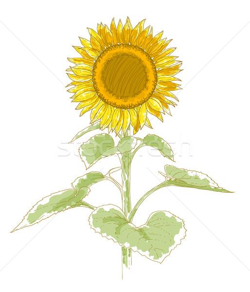 Hand-drawing sunflower Stock photo © jet