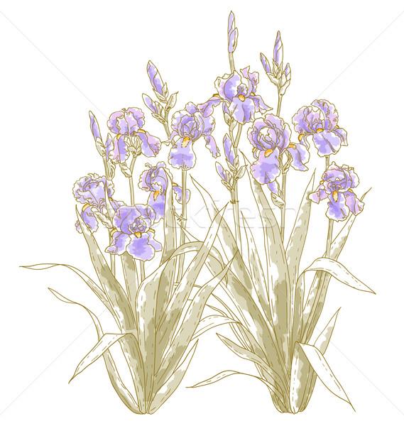 Iris Bush blanco vector naturaleza Foto stock © jet