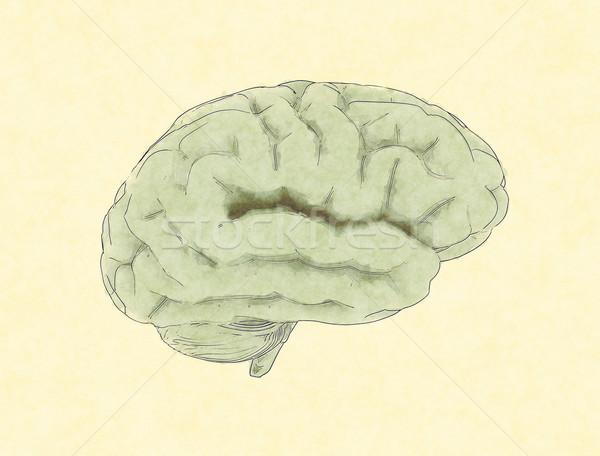 Emberi agy festmény orvosi egészség gyógyszer tudomány Stock fotó © jezper