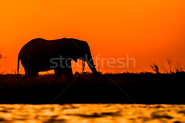 Stock photo: Silhouette of an Elephant during Sunset