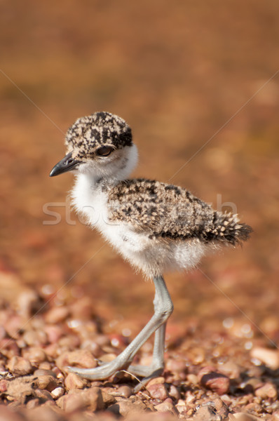 Lapwing chick on pebble beach by lake Victoria Stock photo © JFJacobsz