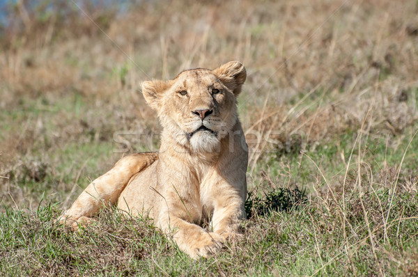 Relaxed lioness lying in short grass. Stock photo © JFJacobsz