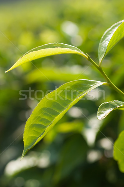 Stock photo: Leaves of a Tea Plant