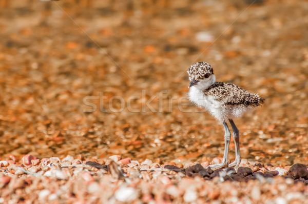 Csirke kavics tengerpart fiatal egyedül víz Stock fotó © JFJacobsz